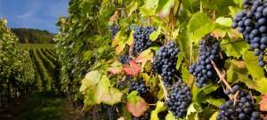 grapes-banner-image-1